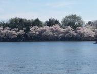 Cherry Blossom Trees by the waterfront. If you squint, you'll see thousands of tourists.