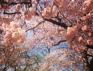 Spring cherry blossoms in DC